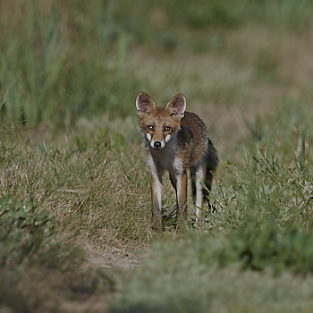 Young-red-fox